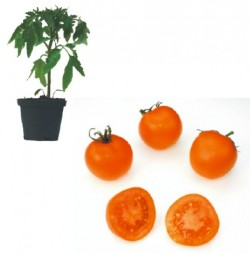 Aurega Plants ( only German Customer)