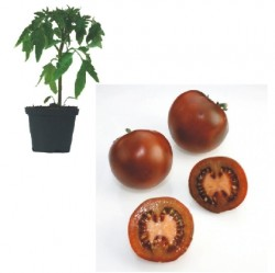 Black Prinz Plants ( only German Customer)