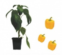 Block Paprika Luteus F1 ( only German Customer)
