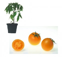 Bolzano F1 Plants ( only German Customer)