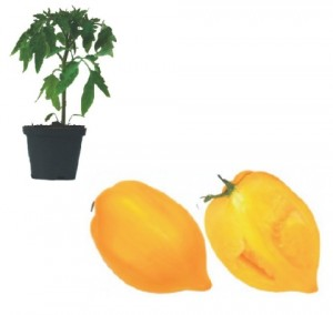 Gelbe Paprikatomate Plants (only German Customer)