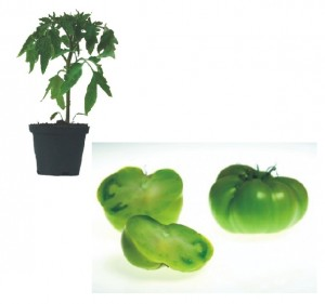 Green Moldava Plants ( only German Customer)