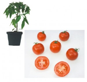 Harzfeuer F1 Plants ( only German Customer)