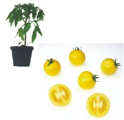 Locarno F1 Plants ( only German Customer)