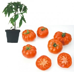 Marmande Jungpflanze