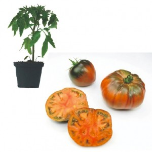 Noire de Crimée Plants ( only German Customer)