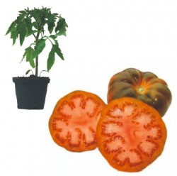 Raf Tomate Jungpflanze