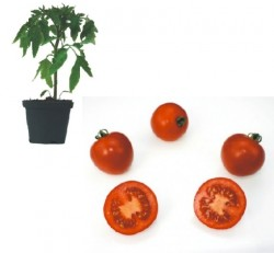 Rougella F1 Plants ( only German Customer)