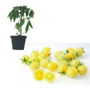Snowberry Plants (only German Customer)