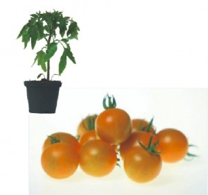 Sungold F1 Plants ( only German Customer)